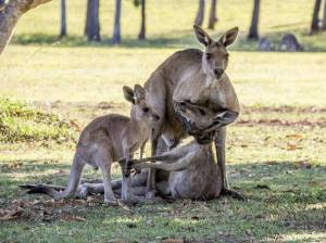 canguro-2-301DB81A00000578-3396905-Heartbreaking_A_male_kangaroo_cradles_the_head_of_a_lifeless_mot-a-14_1452663140788-k8hE-U43140979575988NJC-1224x916@Corriere-Web-Sezioni-593x443